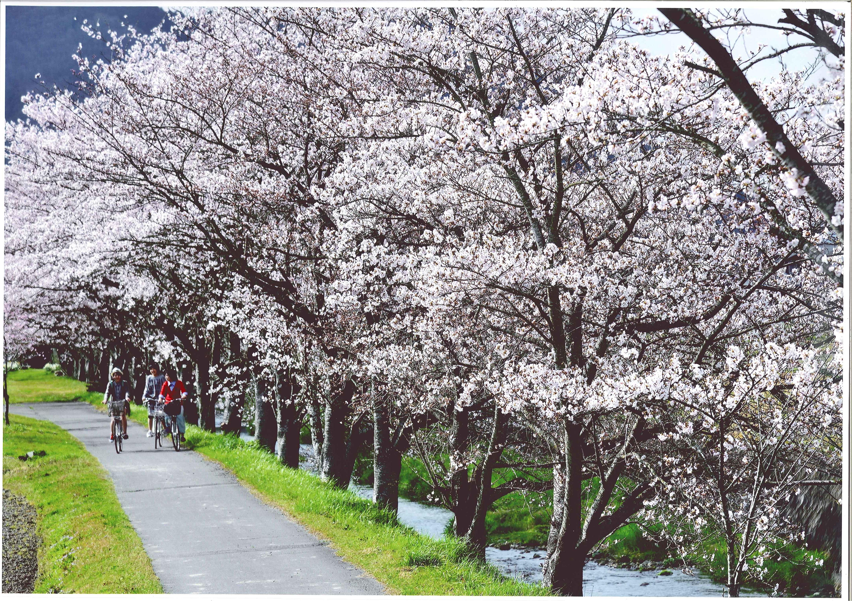 03-1sakura_road_v0